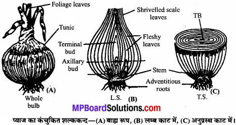 MP Board Class 11th Biology Solutions Chapter 5 पुष्पी पादपों की आकारिकी - 6