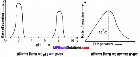MP Board Class 11th Biology Solutions Chapter 9 जैव अणु - 18