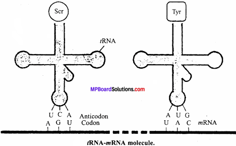 MP Board Class 12th Biology Important Questions Chapter 6 Molecular Basis of Inheritance 11
