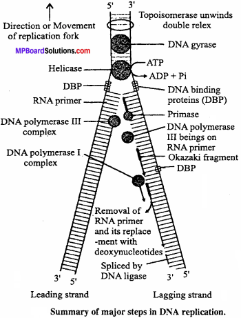 MP Board Class 12th Biology Important Questions Chapter 6 Molecular Basis of Inheritance 7