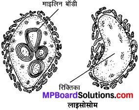 MP Board Class 9th Science Solutions Chapter 5 जीवन की मौलिक इकाई image 8