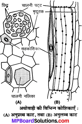 MP Board Class 9th Science Solutions Chapter 6 ऊतक image 22