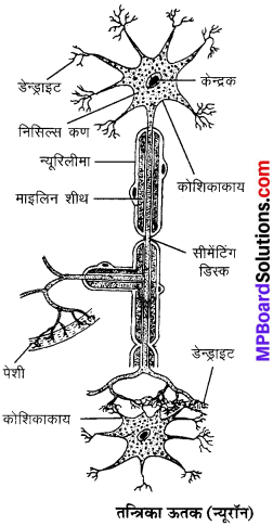 MP Board Class 9th Science Solutions Chapter 6 ऊतक image 25