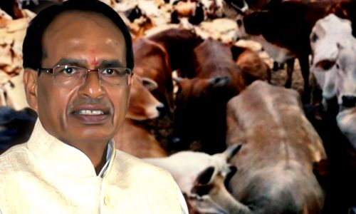 madhya-pradesh-government-planning-to-impose-cess-for-operating-cow-shelters-mplive