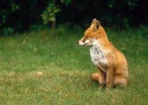 Jak wabić lisy