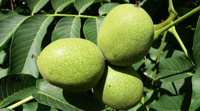 orzech-wloski-owoc