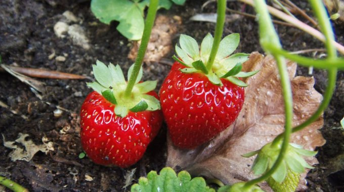 truskawki-jak-sadzic