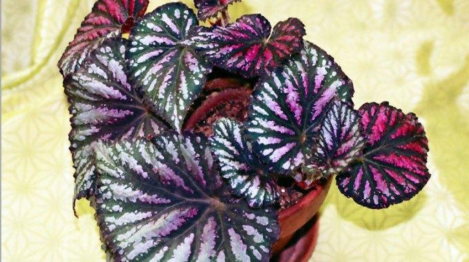begonia-doniczkowa