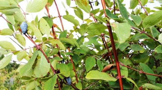 jagoda-kamczacka-uprawa