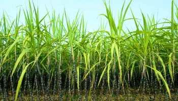 Commercial-Cash-Crops-Sugarcane