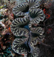 Environment--giant clam