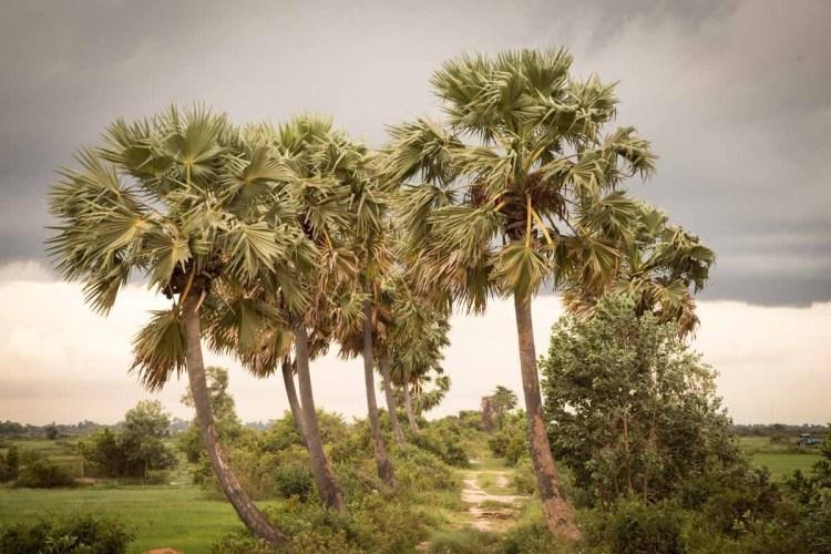 柬埔寨棕糖树