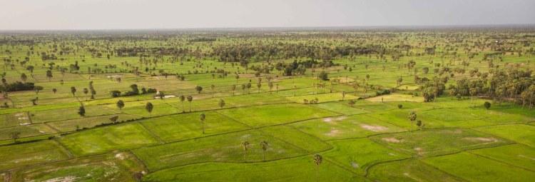 柬埔寨稻米