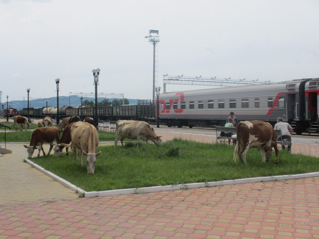 Cows at the station at the Russia / Mongolia border