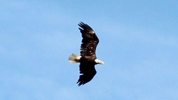 Bald_Eagle_in_Canada