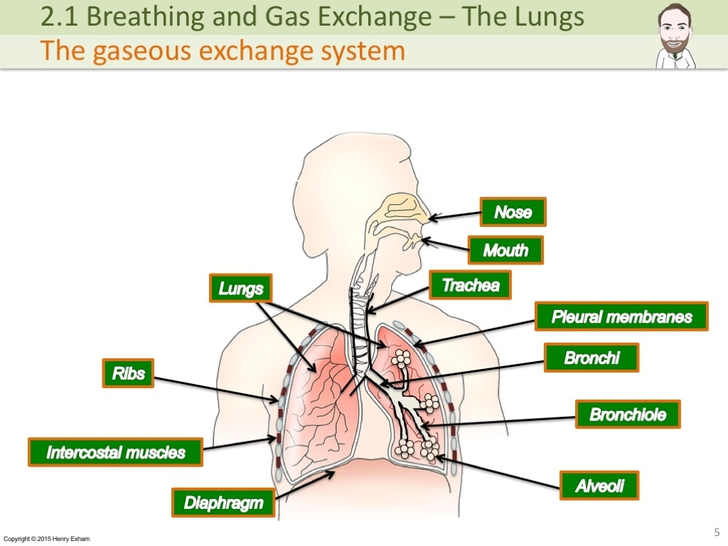 Igcse The Lungs Gas Exchange And Smoking