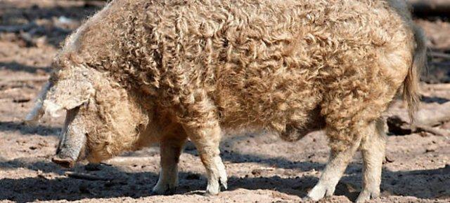 vodafone internet gratis1 - Un maiale che somiglia ad una pecora?