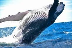 Megattera2 - Mamma ho visto una Balena!
