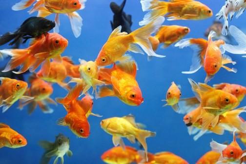 PesciRossi - La memoria del Pesce Rosso