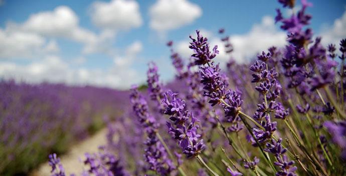 Norfolk Lavender farm shop