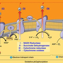 Labelled Diagram Of Water Cycle Johnson Outboard Dealers Brisbane Topic 8.2 Cell Respiration - Amazing World Science With Mr. Green