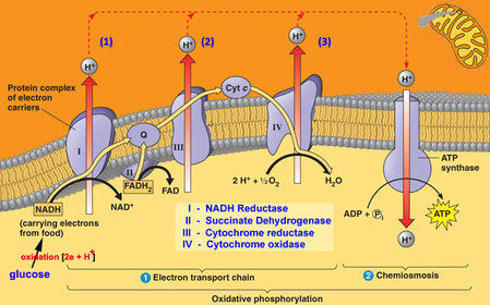 simple mitochondria diagram heat pump thermostat wiring honeywell topic 8.2 cell respiration - amazing world of science with mr. green
