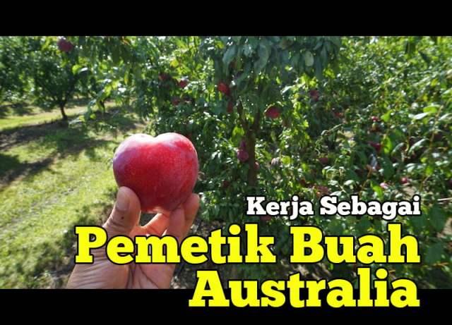 pengalaman-kerja-pemetik-buah-australia