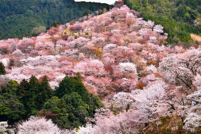 mount yoshino cherry blossom
