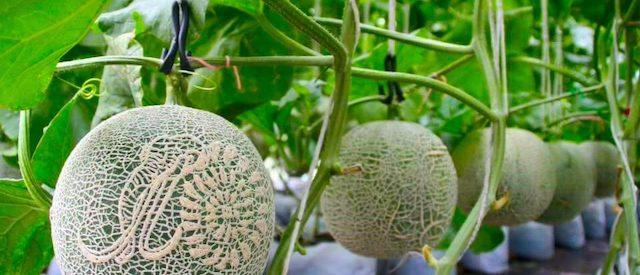 chim melon farm satun