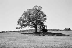 The Basking Ridge Devil Tree 2006