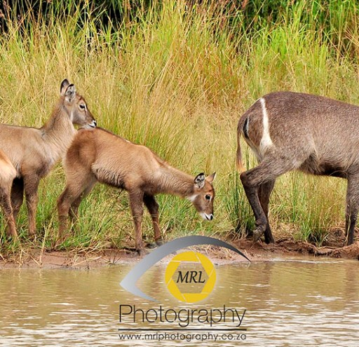 Female Water-buck and young