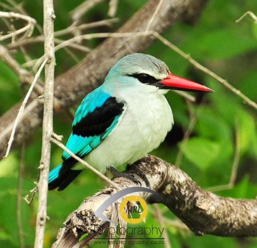 Woodlands Kingfisher