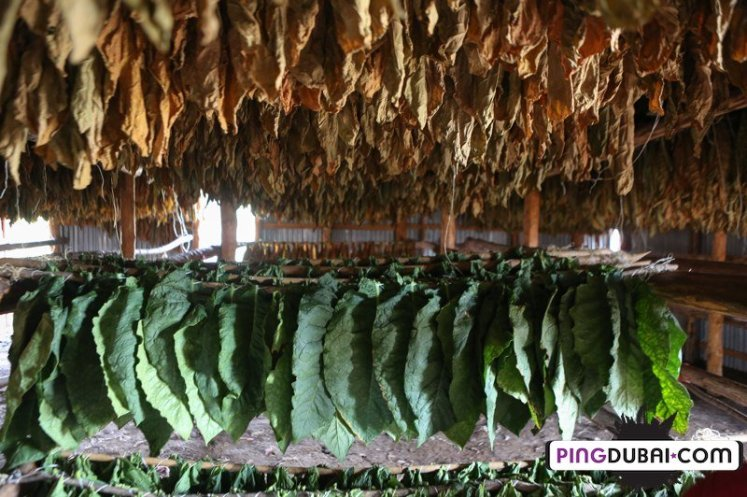 davidoff_cigars_fermentation_fields_dominican_192