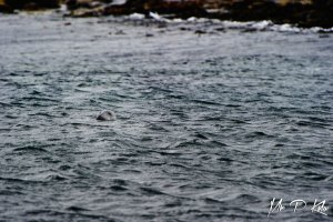 Grey Seal in the waters of Outer Farne Island