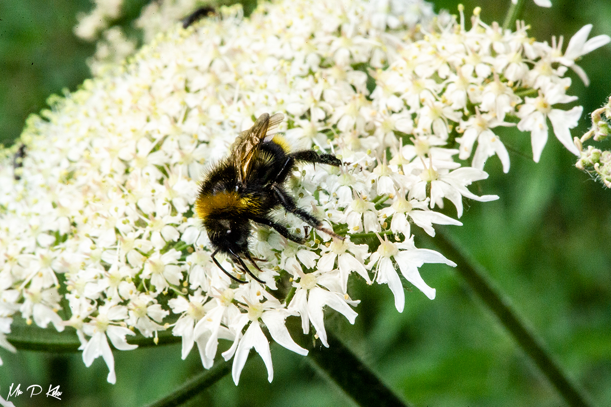 Bee on Anthriscus sylvestris