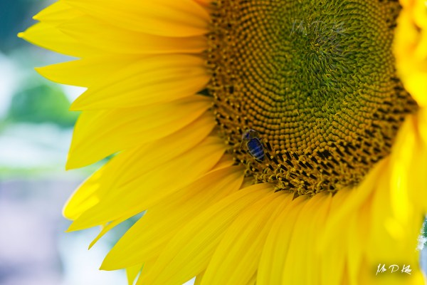 Bee on a helianthus or common sunflower