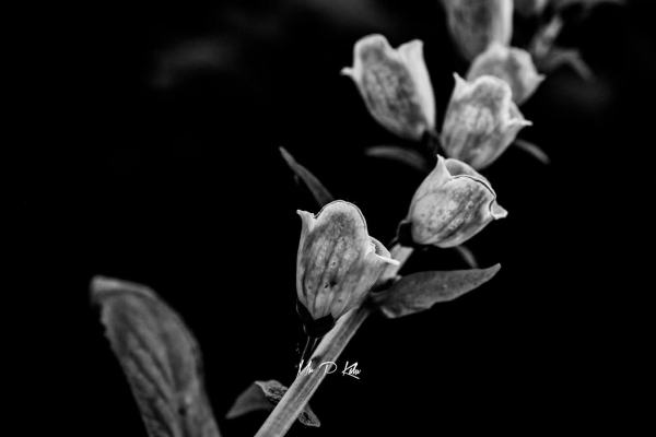 Black and white abstract image of foxglove in MrPKaluGarden