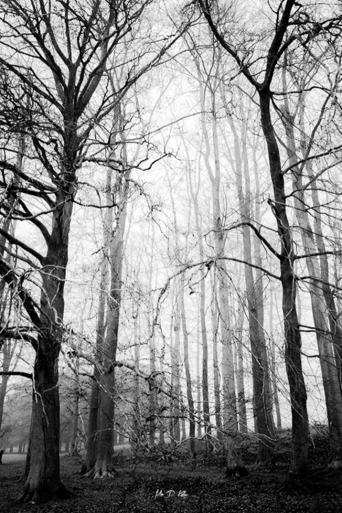 Black and white image of some of the trees planted by Capability Brown in the World Heritage Site of Blenheim Palace in Woodstock Oxfordshire