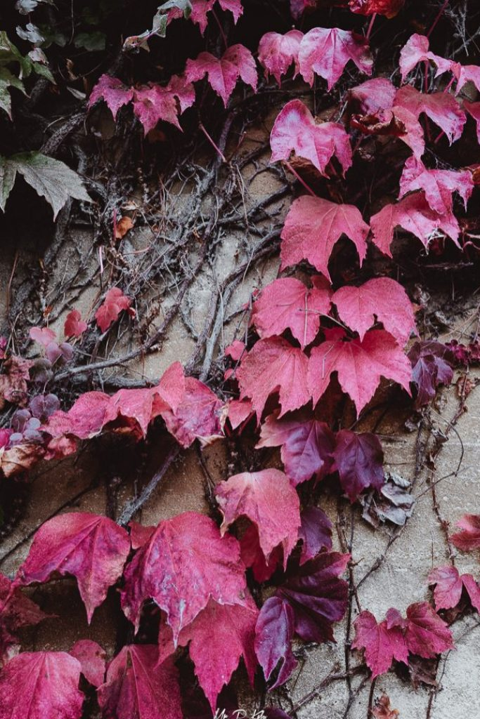Image of Boston Ivy (Parthenocissus Tricuspidata) turning red in the Cotswold town of Woodstock in Oxfordshire