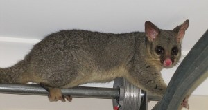 Common Brushtail Found In Roofs