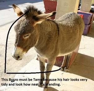wild-burro-2