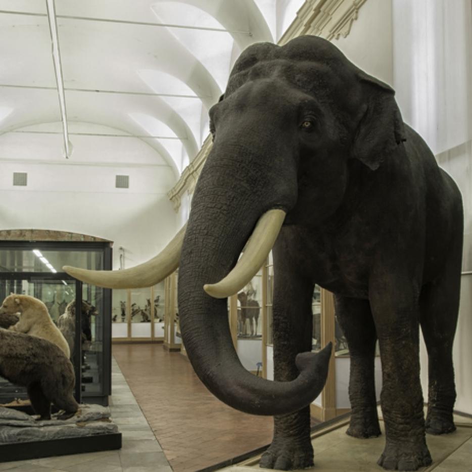 Lelefante del re  Museo Regionale di Scienze Naturali
