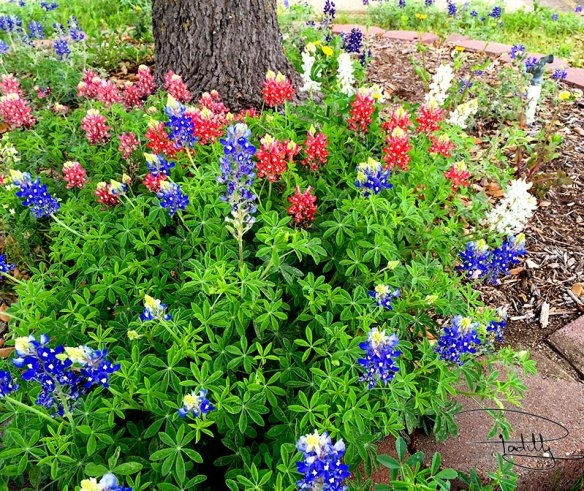 Red White and Bluebonnets in Texas