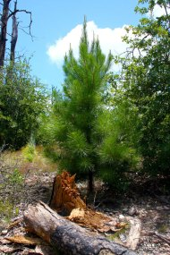 Small loblolly pine growing in Bastrop State Park