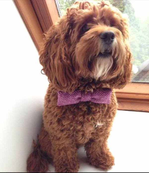 bowties for dogs, dog bowties for weddings  , Dugz, dog products, scottish dog products, online dog boutique , dog wedding fashion