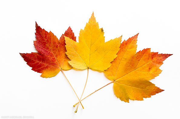 Tree With Leaves Falling Wallpaper Maple Leaves In Full Fall Foliage Colors