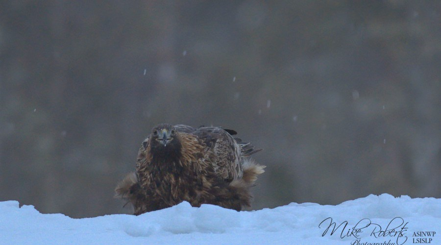 Female Golden Eagle in snow
