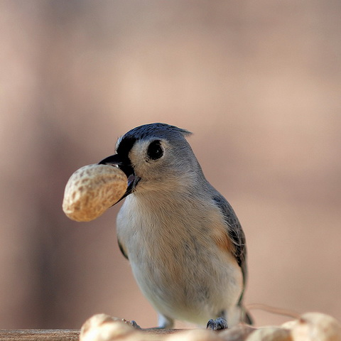 Bird with a peanut