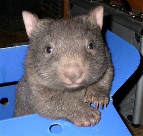 "Mr Wombat says ""are you sure now?"""