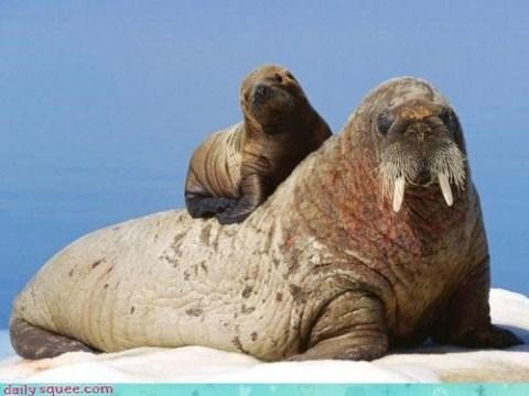 Walruses (walrii?) via Daily Squee